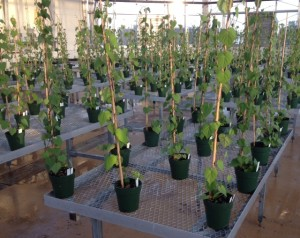 Drought experiment with sweetpotato crop wild relatives in the greenhouse at Southeastern Louisiana University. The research is being carried out by two undergraduate researchers, Tyler Gardner and Nicholas O'Quin, with Dr. Rick Miller (R. Miller/SELU)