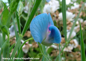 Pretty Poisonous – a grasspea in flower (Photo credit: Nancy J. Ondra)