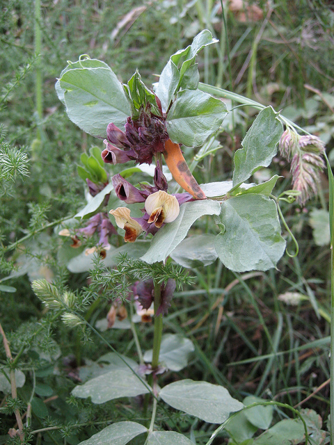 Crop wild relative Vicia hyaeniscyamus may haveuseful traits to make faba bean more resilient (Photo: Colin Khoury)