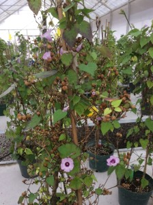 Sweetpotato crop wild relative I. cynanchifolia (R. Scotland/U. Oxford)