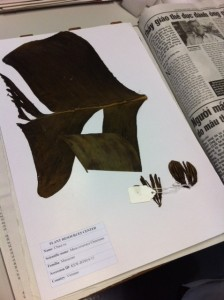 Herbarium sheet with a section of banana leaf.