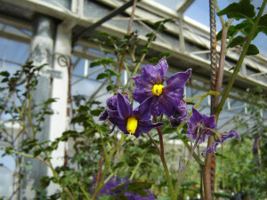 Solanum incamayoense: A potato wild relative growing in a greenhouse of the INTA Balcarce research station for regeneration. Photo by A. Digilio.