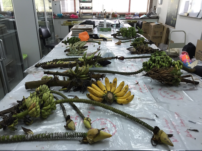 Banana collections in lab before processing begins.