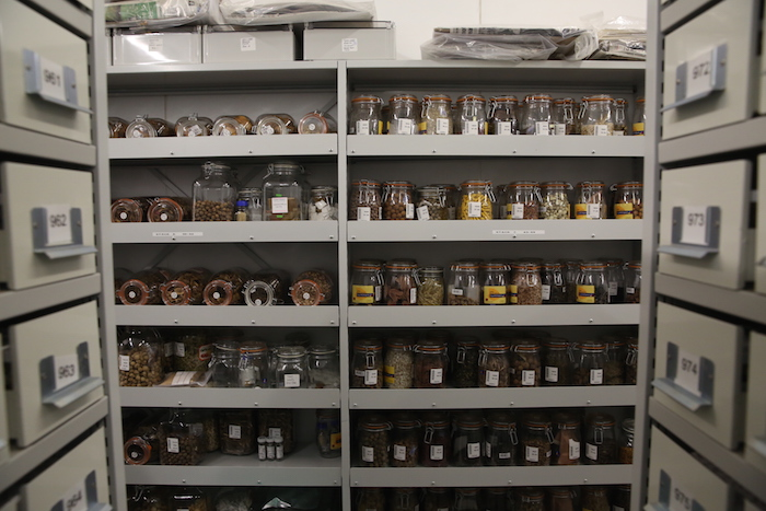 Seeds at the Millenium Seed Bank (MSB), Kew.
