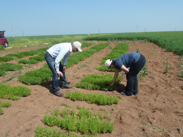 Lentil evaluation in action. The 'godfather of lentil breeding', Dr. Bert Vandenberg (left), and Dr. Beybin Bucak inspect the growth of different wild lentils on a field in Turkey. Photo: Albert Vandenberg