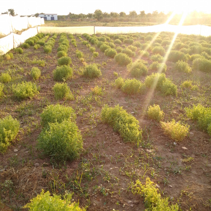 A wild lentil field in Cordoba, Spain. The lentil plants are grown for seed multiplication, so the researchers on this Crop Wild Relative project will have enough seeds for all their field trials. Photo: Albert Vandenberg