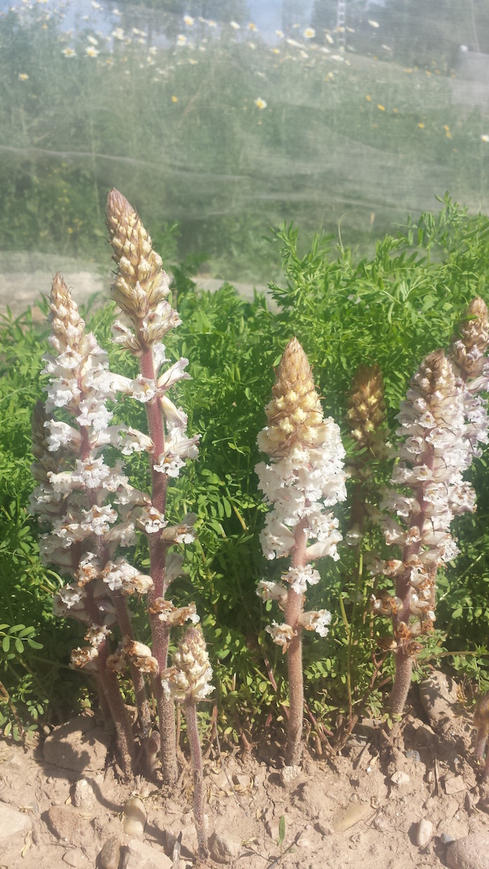 Beautiful little suckers. The light pink flowers belong to Orobanche, a parasitic plant that attaches to lentil roots and sucks nutrients and water, here on a field site in Spain. Some of the wild lentils screened in this Crop Wild Relative project have shown resistance to Orobanche, giving the parasite no chance to rob them. Photo: Albert Vandenberg